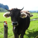 Bekanntschaft mit einer Allgäuer Kuh